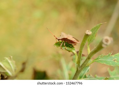 Stink bug in the green garden