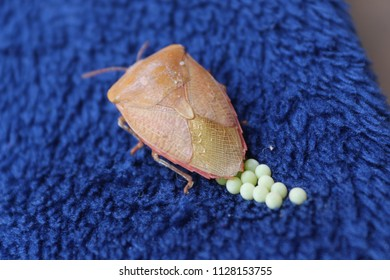 Stink Bug Invasion with  Eggs