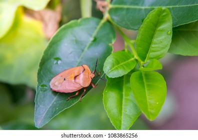 Stink Bug on blurred leaves, on natural backgrounds.Brown marmorated stink bug (Halyomorpha halys) insect animal