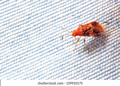 Stink bug on cloth - A blood-feeding insect crawls on bed sheet.