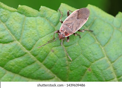 Stink bug on green leaves, North China