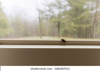 A stink bug on the inside of a window in a home in the wilderness. The Mamorated Brown Stink Bug invaded the United States in the mid 1990's.