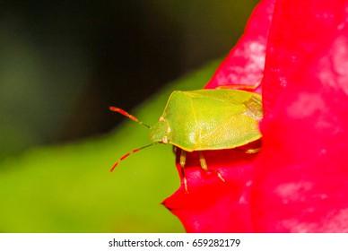 Stink bug on red rose