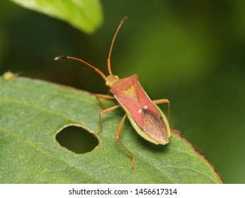 Stink bugs are called so as they exude a smell to ward off danger or when squashed.They have brownish/red hue and they have very long back legs.