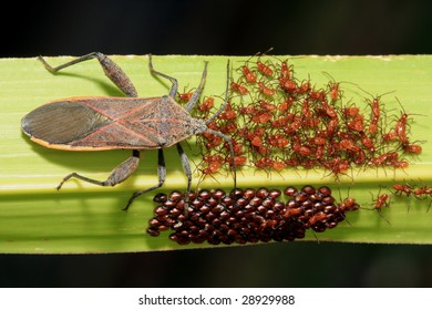 Stinkbug with hatchlings and eggs