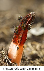 Stinkhorn with Flies