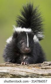 Cute Skunk Images Stock Photos Vectors Shutterstock