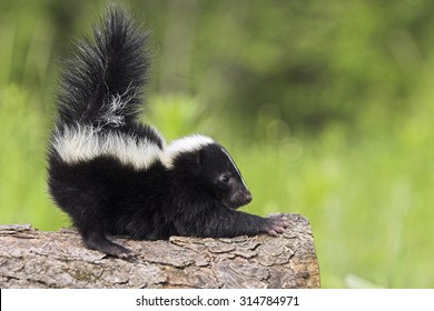 Stinktier, Skunks, Mephitis mephitis, Striped Skunks, Minnesota, USA, cub