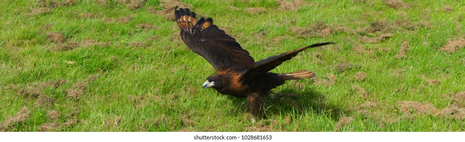 Stirated Caracara taking off