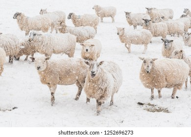 Stirlingshire, Scotland, UK - 28 February 2018: flock of sheep in snow covered field with snow falling