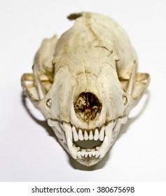 Stoat Weasel Skull 2