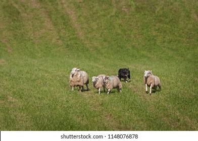 Stock Dog Behind Group of Sheep (Ovis aries) - at sheep dog herding trials