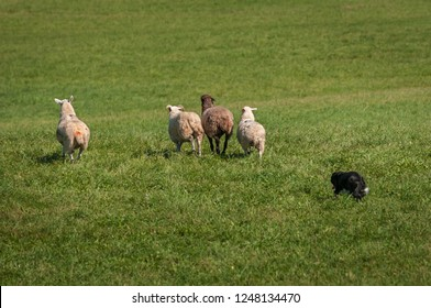 Stock Dog Herds Group of Sheep (Ovis aries) Out into Field - at sheep dog herding trials