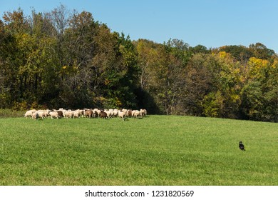 Stock Dog Moves Up on Large Sheep (Ovis aries) Herd - at sheep dog herding trials