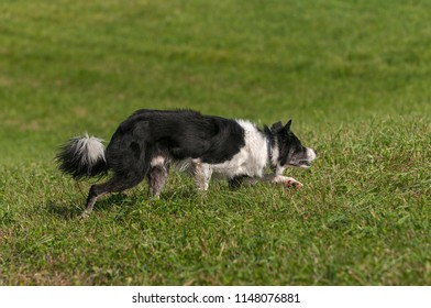 Stock Dog Moves Right Stealthily - at sheep dog herding trials