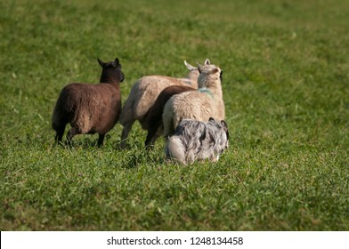 Stock Dog Runs Next to Group of Sheep (Ovis aries) - at sheep dog herding trials