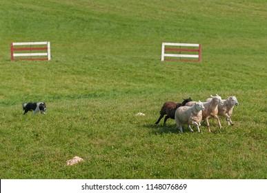 Stock Dog Runs Sheep (Ovis aries) into Circle - at sheep dog herding trials