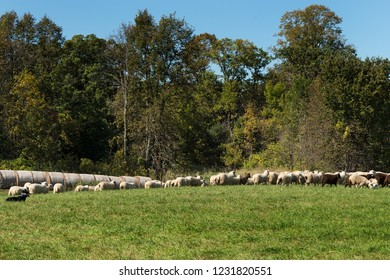Stock Dog Sits Near Large Herd of Sheep (Ovis aries) - at sheep dog herding trials