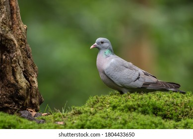 Stock dove (Columba oenas) on a patch of moss.