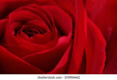 Stock image macro red rose