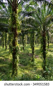 Stock image of Palm Oil Plantation