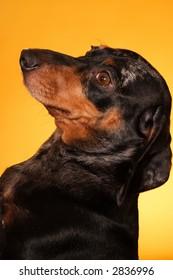 A stock image of a Pedigree Double Dapple Dachshund striking a pose. Yellow background.