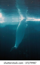 Stock image of white beluga whale