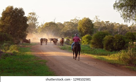 A stock man riding a horse mustering and droving cattle along a dusty dirt road - Shutterstock ID 1298102581