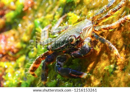 черноморский краб есть водоросли Сток-фото ©