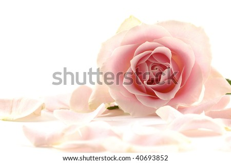 A background of pink rose and petals