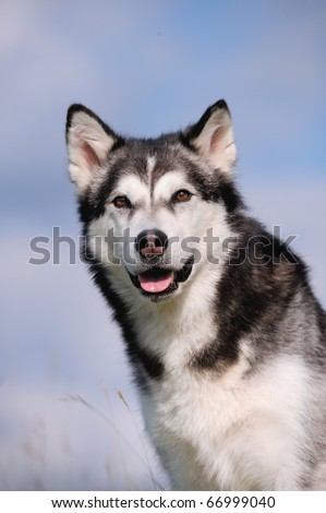 a beautiful Alaskan Malamute on holiday in the spring - stock photo