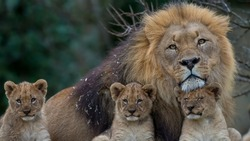 A beautiful big lion with his cubs, three of them baby lions.