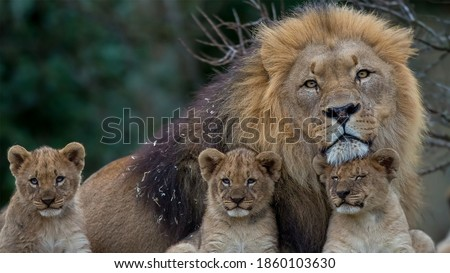 A beautiful big lion with his cubs, three of them baby lions. Stock photo ©