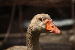 A beautiful Grey Gander Goose. portrait of a gander. Greylag geese. Head and upper body of a gray goose. Portrait of a Greylag Goose. Goose family standing on the grass.