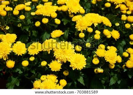 A beautiful patch of yellow mums.                             Foto stock ©