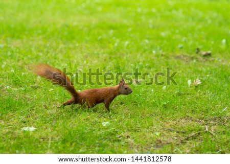 A beautiful photo of a red squirrel (Sciurus vulgaris) is walking on green grass in the park. Photo with a small depth of field. Beautiful background photo.