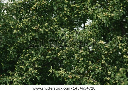 A beautiful picture of an apple tree with lots of apples. Green apples on apple.
