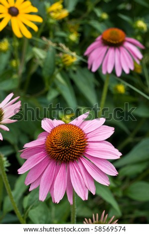 a beautiful purple coneflower in a garden, used as a herbal medicine and anti-depressant.