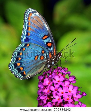 A beautiful Red- spotted Purple butterfly (Limenitis arthemis) at a purple butterfly bush. #709634842