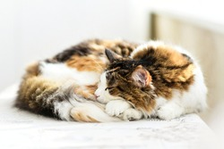 A beautiful three-colored cat sleeps on a light background, a sleeping cat, a cat sleeps curled up in a ball, a fluffy cat sleeps.