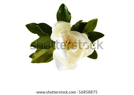 a beautiful white magnolia flower and leaves isolated on white