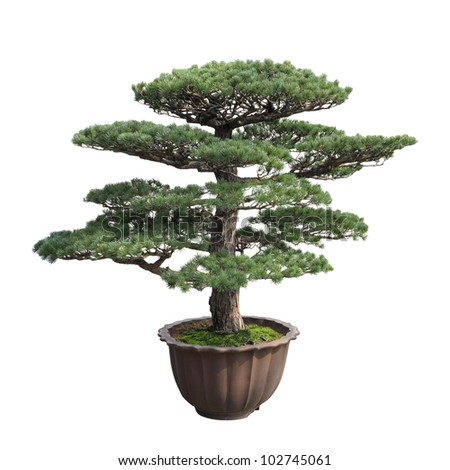 a big bonsai tree of pine with white background,general decoration in the traditional garden or park entrance