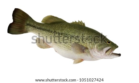 A big female Largemouth bass isolated on a white background.