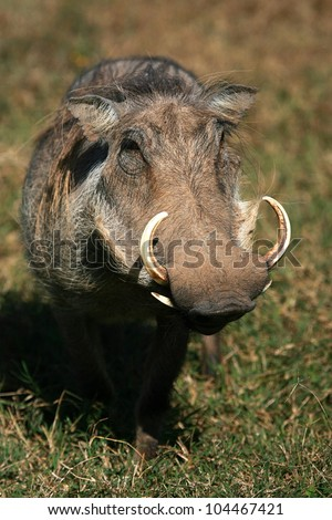A big warthog with large tusks in this front on profile portrait.Taken in Addo elephant national park,eastern cape,south africa