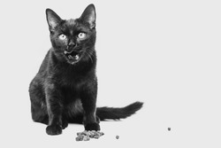 A black kitten sits and licks next to dry food. Isolated on a white background. Black and white photo of a cat.