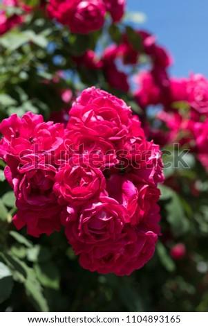 a bouquet of crimson roses #1104893165