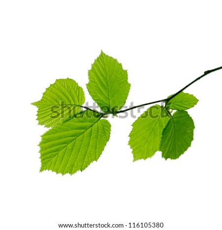 A branch with young spring leaves on white background