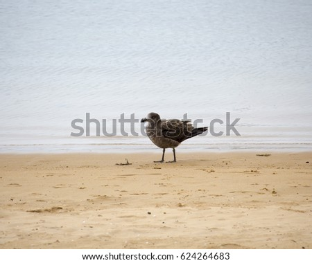 A brown  Pacific gull (Larus pacificus)  a very large gull, native to the southern coasts of Australia is standing on the sand  at the groyne  beach, Bunbury, Western Australia  on a cloudy day.