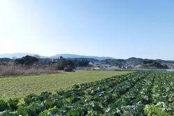 A cabbage field shot in Nara, Japan. Green leaves exude springness.