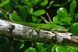 a chameleonlike  male green  anole in a tree in st. andrews state park near panama city in the florida panhandle